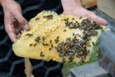 abeilles au travail