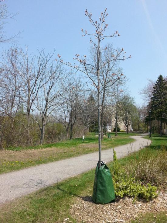 arbre avec un sac d'arrosage