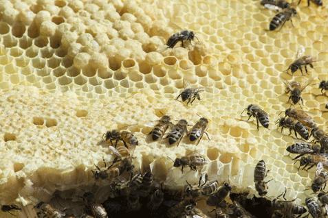 abeilles-interdiction-neonics_477.png